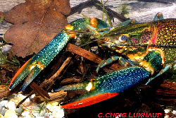 Red claw have exotic coloration...from crayfishworld.com